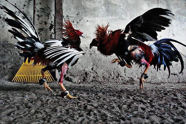 Sabung Ayam Online Indonesia