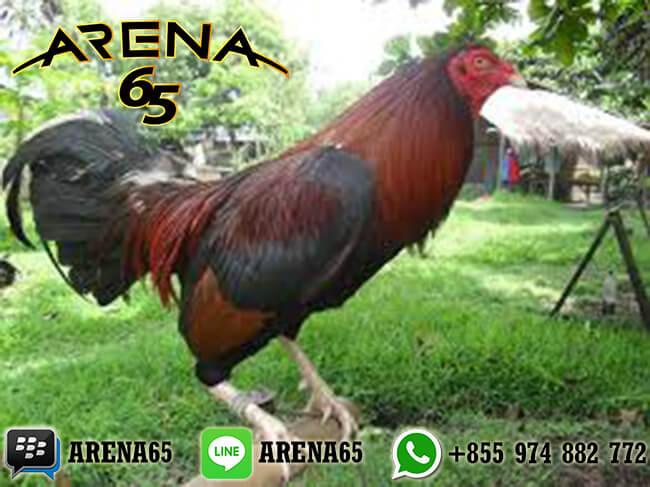 LiveChat Agen Sabung Ayam Online 24 Jam