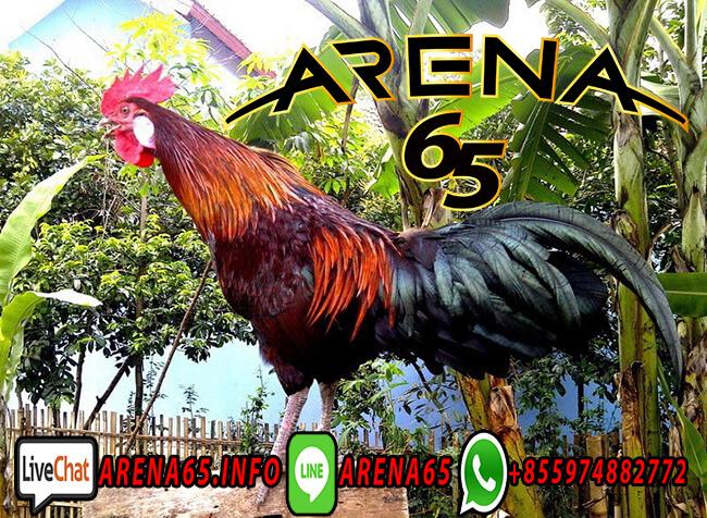 Sabung Ayam Bangkok Vs Filliina
